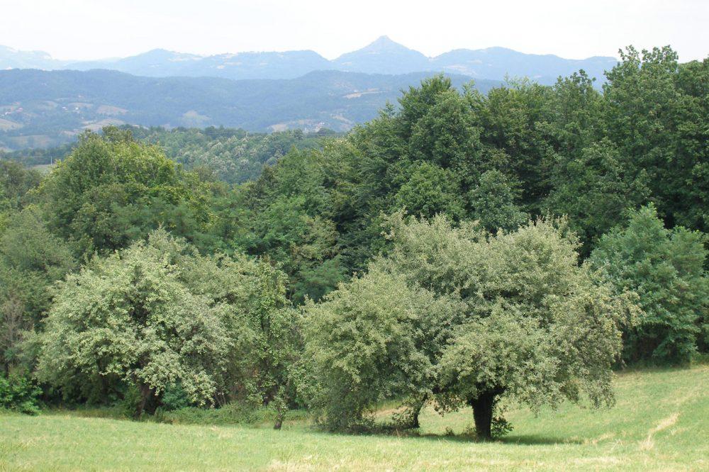 Kruška takiša, Planina Rudnik